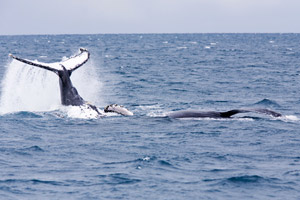 Whale Watching vor Santa Catarina